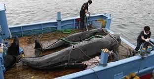中国人「日本、国連を無視して捕鯨を続ける」