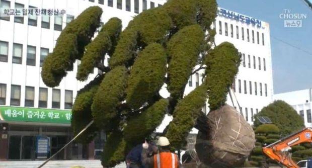 韓国人「慶尚南道教育庁、日帝残滓という理由で日本産の木を引き抜くwwwwwwwww」