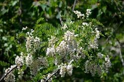 1s-白い藤の花3
