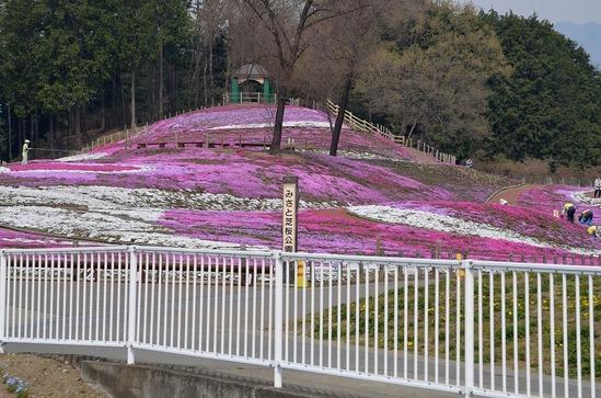 s-箕郷芝桜