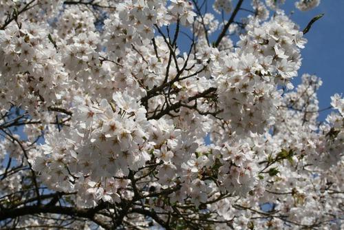 桜 035