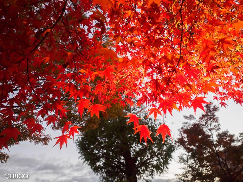 もうすぐ見頃♪夕闇の紅葉【河口湖もみじ回廊ライトアップ】