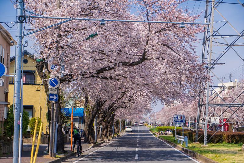 千葉で桜を観る穴場スポット【松戸市・六実さくら通り】