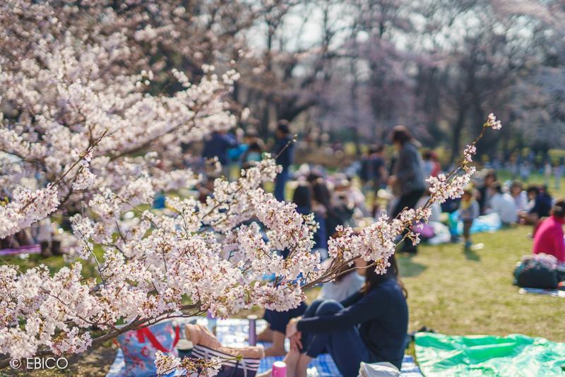 桜ポートレートを撮影するなら砧公園♪
