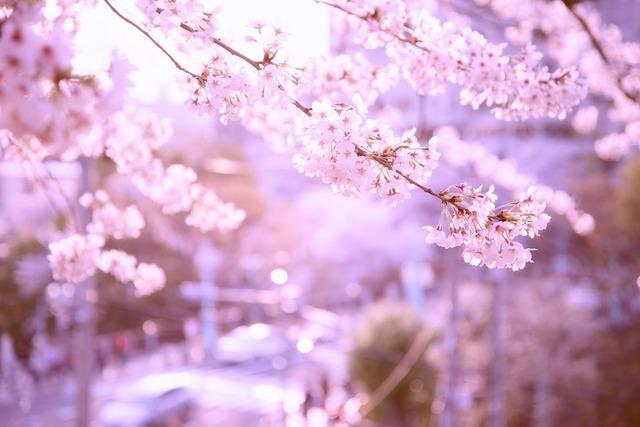 桜色に染まる街