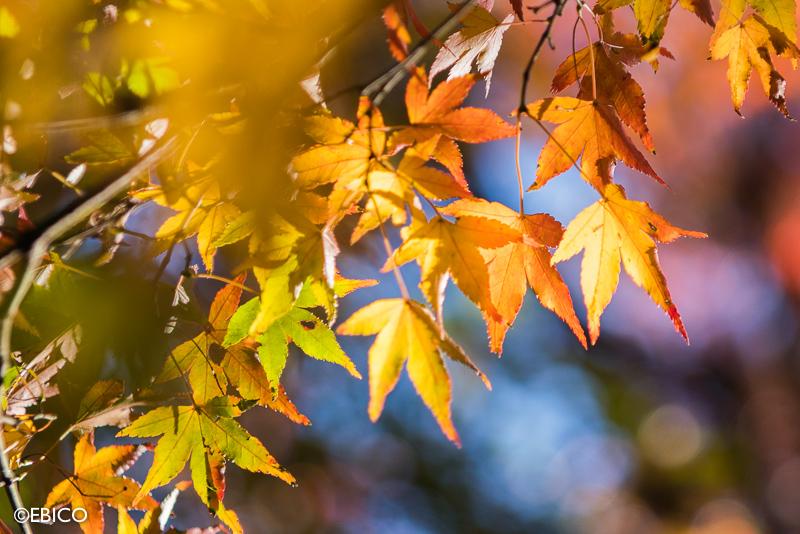 秋色ステンドグラス【紅葉を美しく撮る方法】