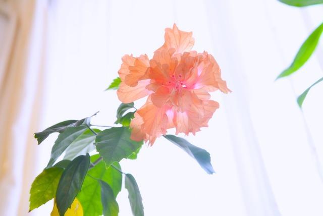 咲くハイビスカス【インターバル撮影】
