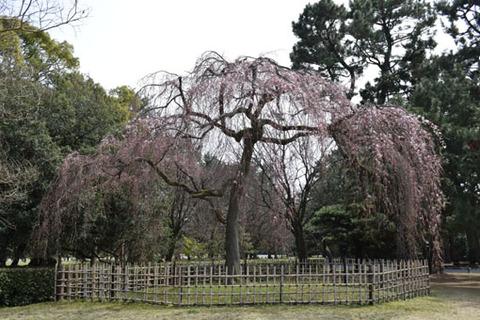 出水の枝垂れ桜-1