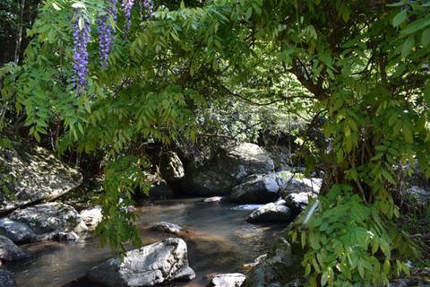 るり渓-藤