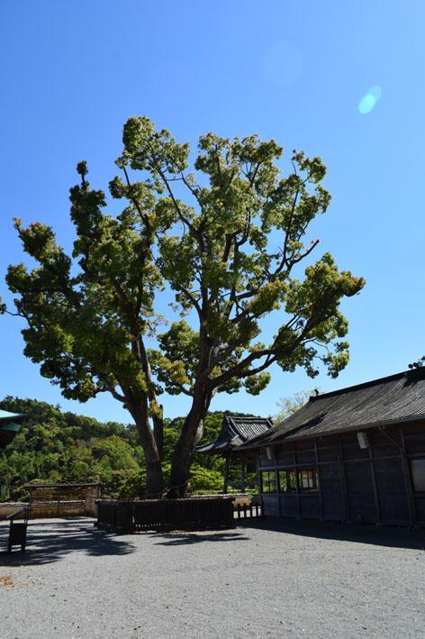 納経所横の大樹