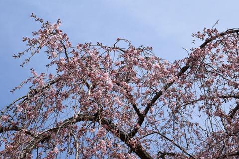 出水の枝垂れ桜-2