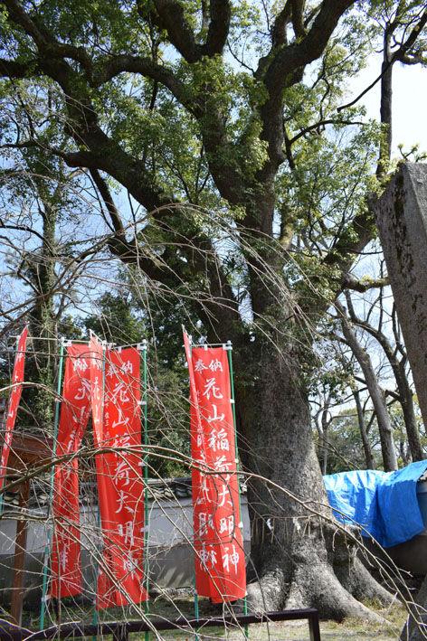 花山稲荷神社-楠木