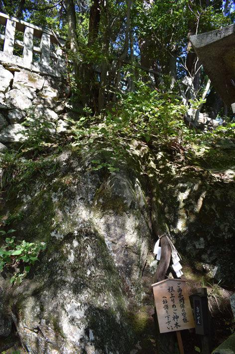 根上がりの御神木
