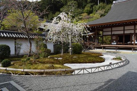 龍神遊行の庭-桜