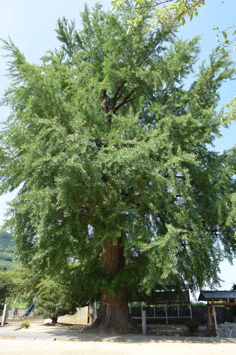 酒殿神社-銀杏の木