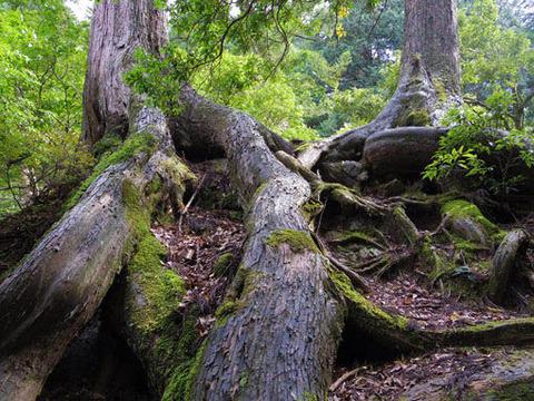 三の滝-木の根