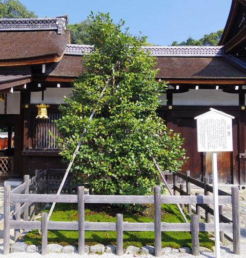 三井社-白玉椿の木