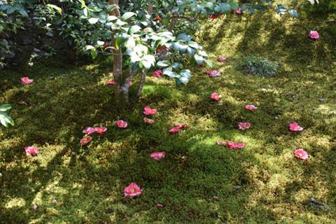 本堂前庭園-椿