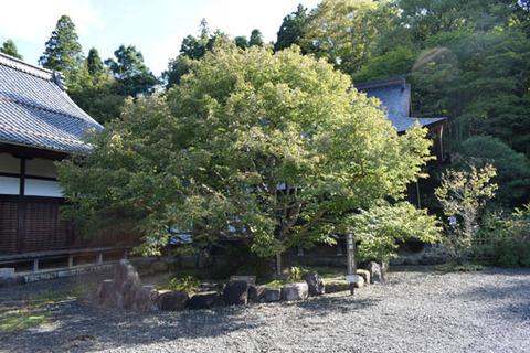 千年菩提樹-下