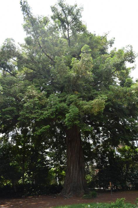 天寧寺-カヤの木