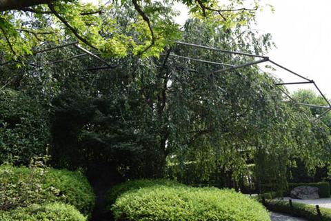 枝垂桜-2