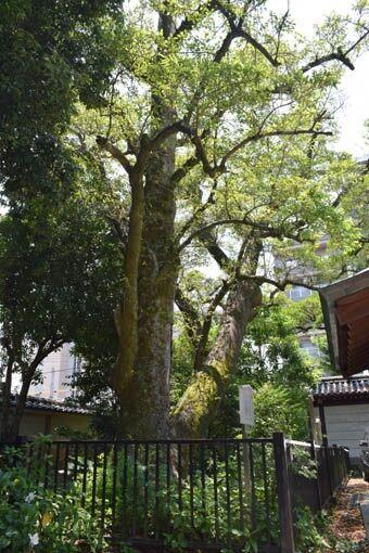 オガタマの木