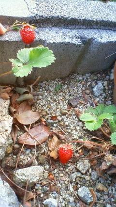 我が家の苺