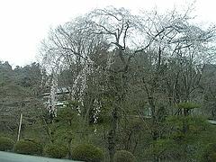 2010年4月4日 長瀞散策 宝登山の枝垂桜