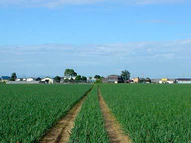 夏のタマネギ畑