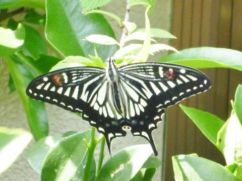 今年初めてのアゲハ蝶です