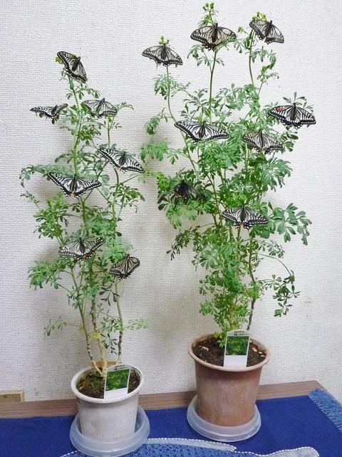 我が家のアゲハ蝶の木です