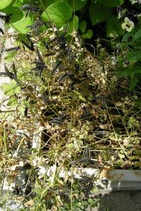収穫する前のレンゲの様子