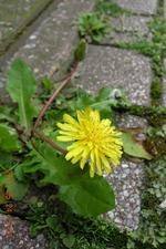 ブロックの間に咲くカントウタンポポの花