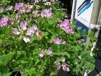 満開のレンゲの花にミツバチの訪問
