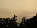秋の夕焼け空に舞う黒い群れ。