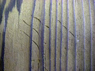 アライグマ爪跡