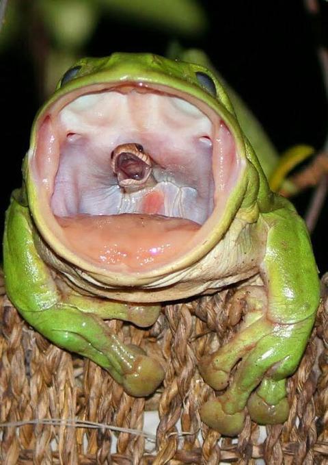 20171204(月) 蛇を食べるカエル