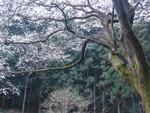 25年3月の桜 032