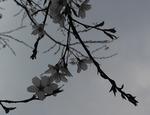 25年3月の桜 066