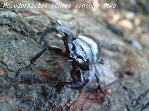 Pseudorhaetus sinicus concolor02