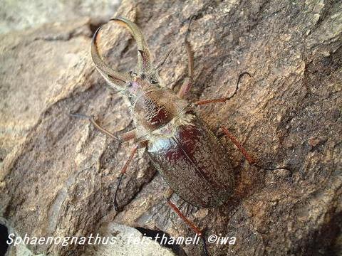 Sphaenognathus feisthameli08