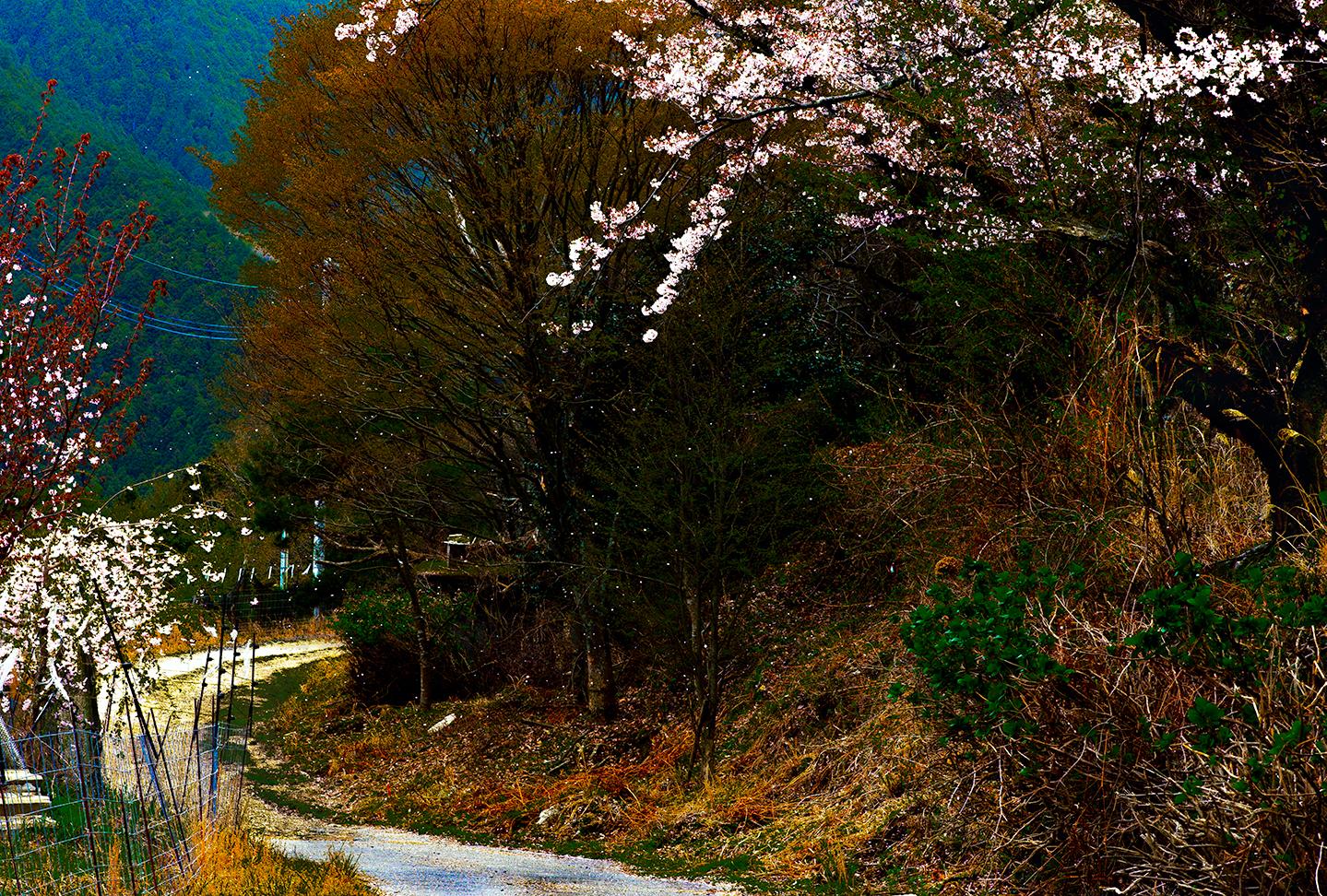 Falling CherryBlossom