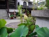 6.20「笹寺の蓮」
