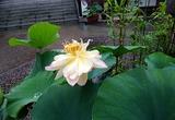 6.22「笹寺の蓮2」