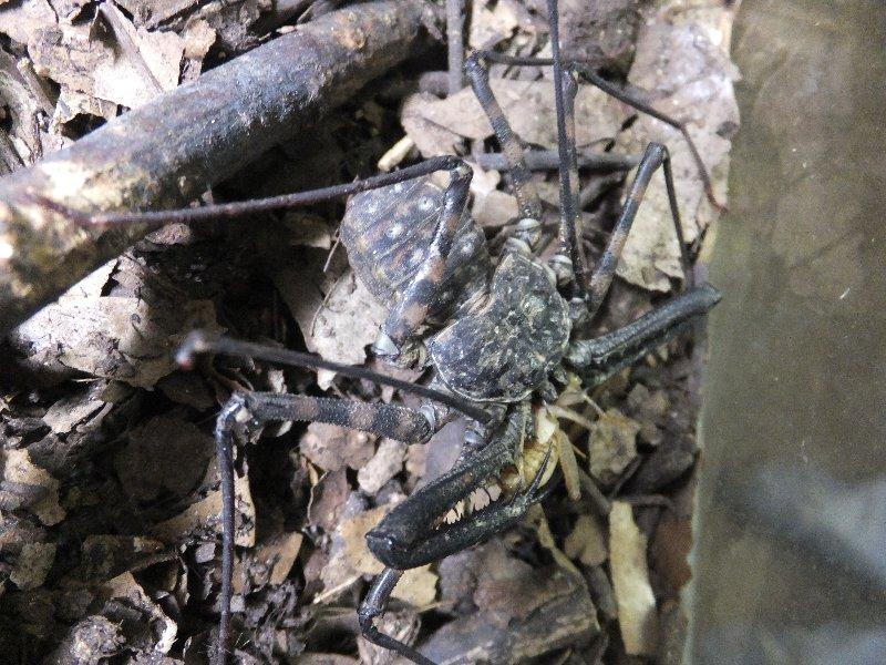 爬虫類ライフ   タンザニアバンデットウデムシ入荷 コメント                  eikonao2003