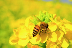 ハチと菜の花