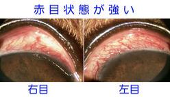 両目の赤目状態が強く見られます。