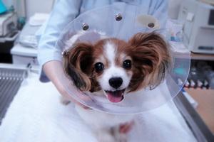 透明なエリザベスカラー 犬