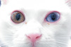 オッドアイの白い子猫(右は金、左は銀)