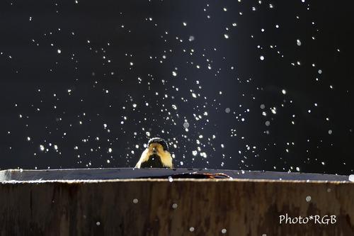 ヤマガラの水浴び Svnd